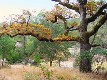 old oak tree near the river at Swallowtail Ranch in the autumn